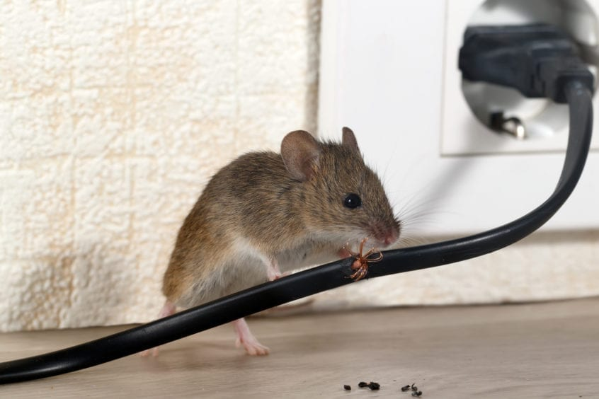 mouse rats with electric